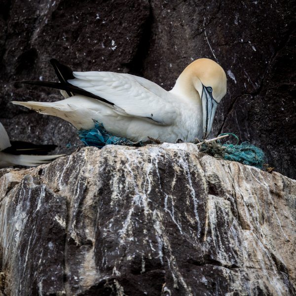 Gannet on Plastic Nest